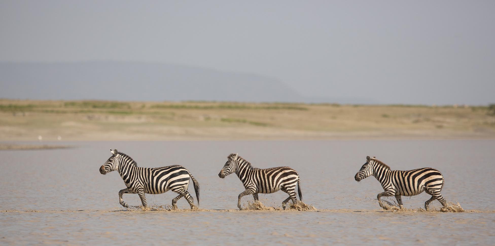 3_zebres_traversant_au_gué